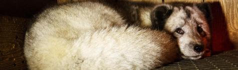 Nähtamatute loomade karusloomafarmide vastasest petitsioonist sai Eesti suurim allkirjastatud petitsioon