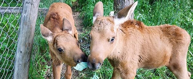 Orvuks jäänud põdravasikad vajavad piimapulbrit
